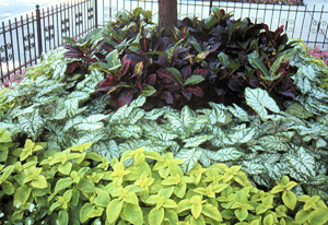 Crotons (right) and Bird of Paradise (left) planted in large street planters in Chicago make a successful summer landscape with caladium, coleus and liriope.