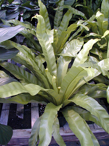 Among the more popular foliage crops successfully grown in Georgia are (top left) Dracaena, (top right) Croton and Schefflera, (bottom left) Ficus and (bottom right) Ferns.