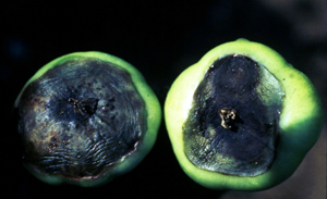 Blossom-end rot on tomatoes.