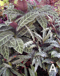 Figure 10. Examples of successful combinations using various foliage textures and colors. A. Planting of Calatheas.
