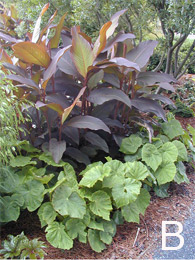 Figure 10. Examples of successful combinations using various foliage textures and colors. B. The foliage of the Giant Hardy Begonia creates nice contrast next to the dark burgundy leaves of Canna.