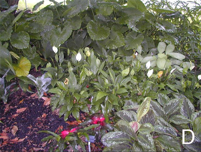 Figure 10. Examples of successful combinations using various foliage textures and colors. D. Alocasia gagaena (back), Peace Lily, Calathea 'Silver Plate' and Cornukaempferia 'Jungle Gold'.