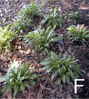 Figure 5. Regeneration and growth of plants in the Savannah Trial garden. F. Spathiphyllum (Petite)