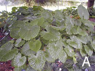 Figure 7. Alocasias. A. <em>Alocasia gagaena. </em>