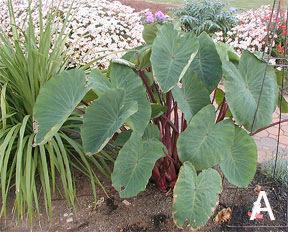 Figure 8. <em>Colocasias</em>. A. <em>Colocasia</em> 'Red Stem'.