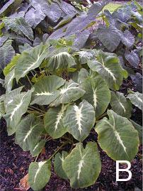 Figure 8. <em>Colocasias</em>. B. <em>Colocasia</em> 'Black Magic' (top) and <em>Colocasia nancyana</em>.