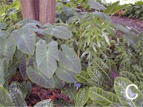 Figure 8. <em>Colocasias</em>. C. <em>Colocasia illustris</em> (left).