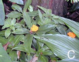 Figure 9. Gingers. C. <em>Costus amazonicus</em>.
