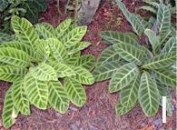 Figure 9 cont'd. Gingers. I. <em>Calathea</em> 'Zebrina' and C. tigrinum.
