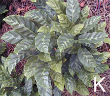 Figure 9 cont'd. Gingers. K. <em>Calathea albertii</em>.