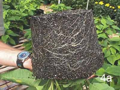 Photo of healty roots in soil