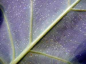 Close-up photo of whitefly larva under leaf.