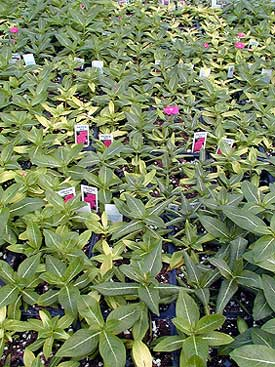 chlorotic plants and leaves on vinca