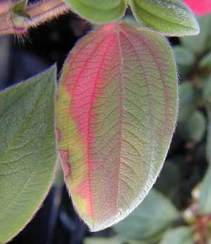 Macro photo demonstrating minor variations in foliage color