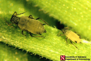 corn leaf aphids