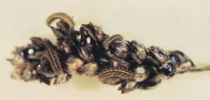 sorghum webworms on sorghum panicle