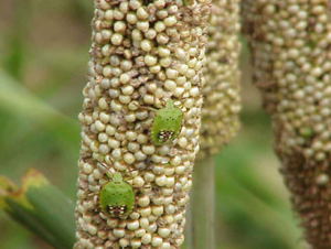 southern green stink bug nymphs on pearl millet