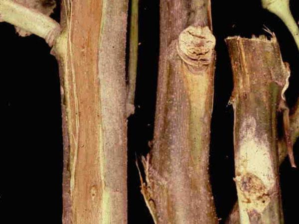 Vascular discoloration caused by Fusarium wilt