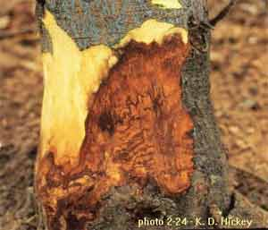 Figure 27. Reddish brown wood discoloration.
