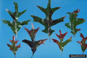 Figure 7. Marginal leaf burn due to bacterial leaf scorch.