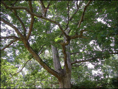 Key To Diseases Of Oaks In The Landscape Uga Cooperative Extension