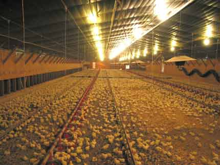 Figure 2. When  adequate house temperature is obtained and chicks are well managed, they should be distributed throughout the house and not huddling together or sitting mostly in the feed pans.