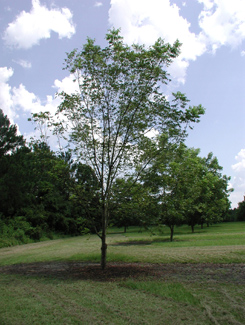 Figure 1. Pecan tree suffering from serious defoliation in July due to nitrogen:potassium imbalance.