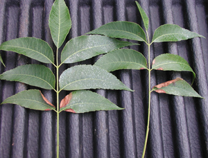 Figure 2. Leaf scorch of pecan due to nitrogen: potassium imbalance.