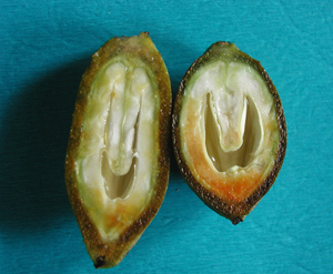 Figure 5. Development of the ovule in the pecan nut. The nut on the left is not ready to be fruit thinned. The nut on the right has reached 50 percent ovule expansion (brown area) and is ready to be thinned.