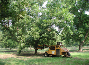 Figure 6. Fruit thinning of pecan.