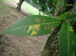 Figure 8. Damage to pecan foliage from black pecan aphid.
