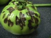 Photo showing dark streaks on tomato fruit caused by TSWV.