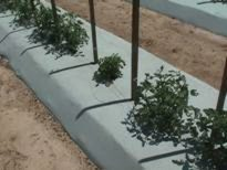 Photo showing plant severely stunted by TYLCV.