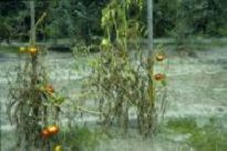Photo showing yellowing and wilting from Fusarium wilt.