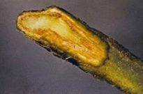 Photo showing vascular discoloration from Fusarium wilt in cut stem.