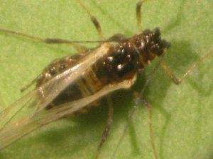 Photo of adult winged aphid.