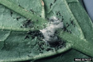 Photo showing beet armyworm egg mass hatching.