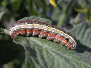 Photo of yellowstriped armyworm larva.