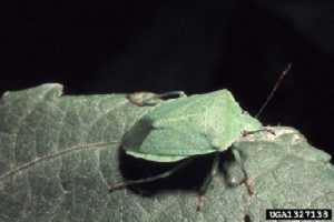 Photo of Southern green stink bug adult.