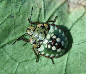 Photo of Southern green stink bug nymph (late instar).