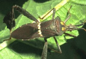 Photo of leaffooted bug adult.