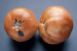Photo showing blotchy coloring, surface pitting and black mold decay on tomatoes