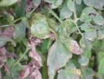 Photo showing chlorosis on leaves caused by bacterial spot.