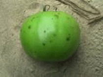 Photo showing lesions on fruit from bacterial spot.