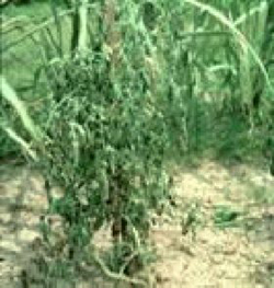 Photo showing of wilted plant from bacterial wilt.