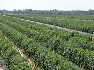 photo of tomato plant rows in field