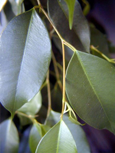 Acclimatized Weeping Fig