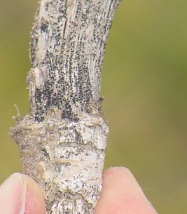 canola stem showing pycnidia