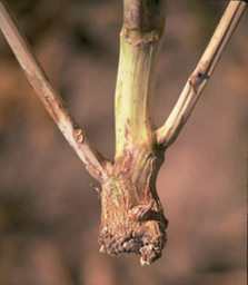 canola stem with girdling crown lesion