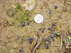Sclerotia (dark objects) on soil surface.